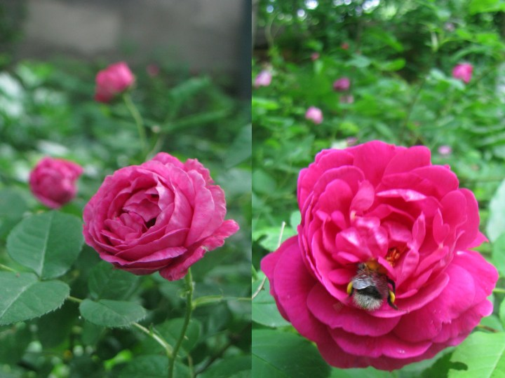 roza_4