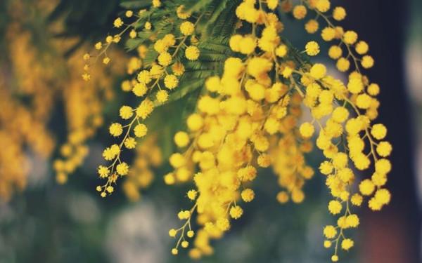 mimosa_NG1