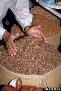 Chilgozas,  Pine nuts