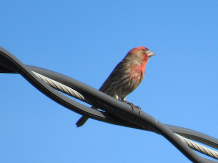 housefinch_june2015.JPG