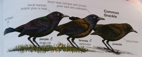 Common Grackles from the Nat'l Geographic Guide