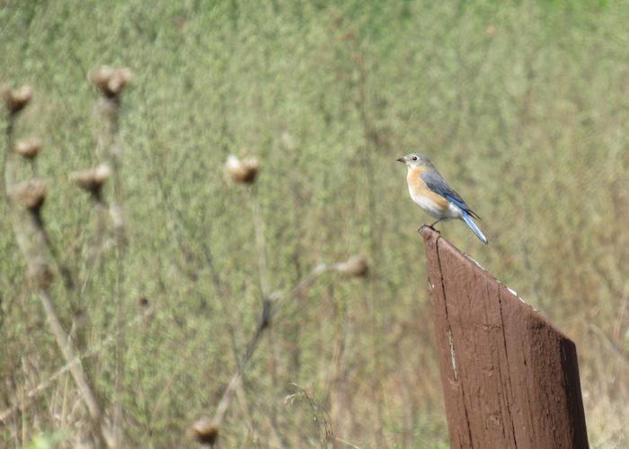 femaleBluebird.jpg