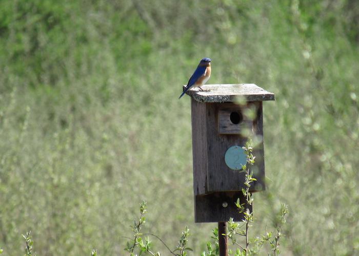 maleBluebird.jpg