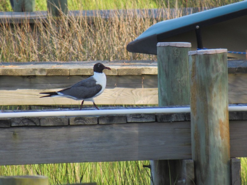 seagull13 copy.jpg