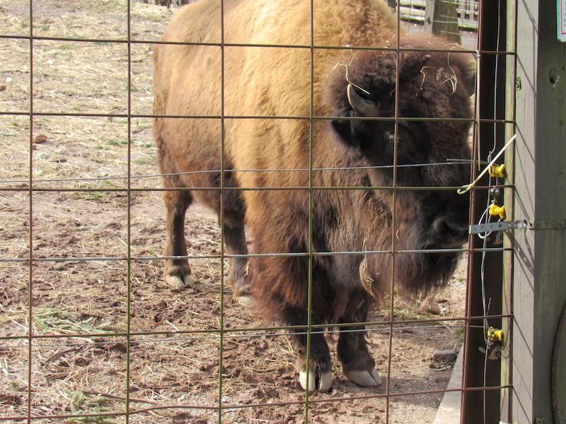 bison5.jpg