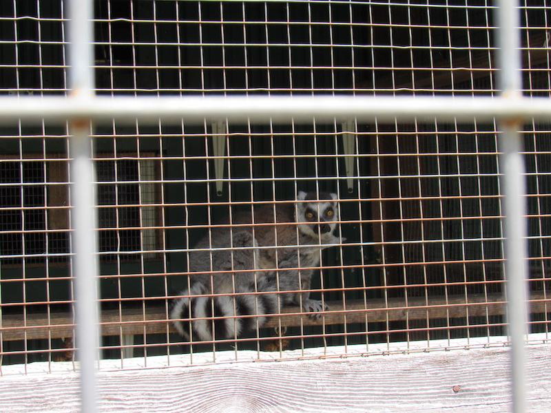lemur1.JPG