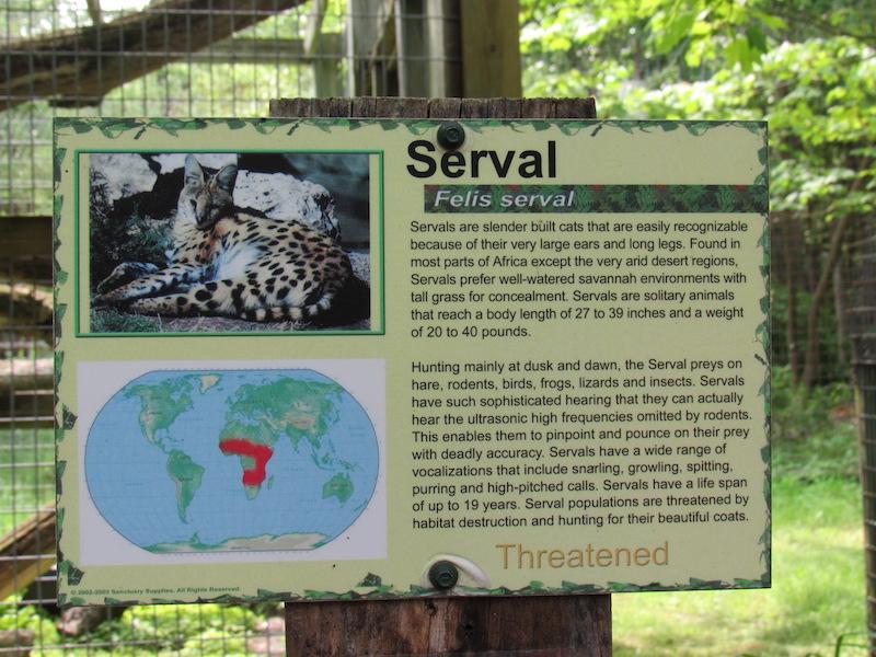 serval2.JPG