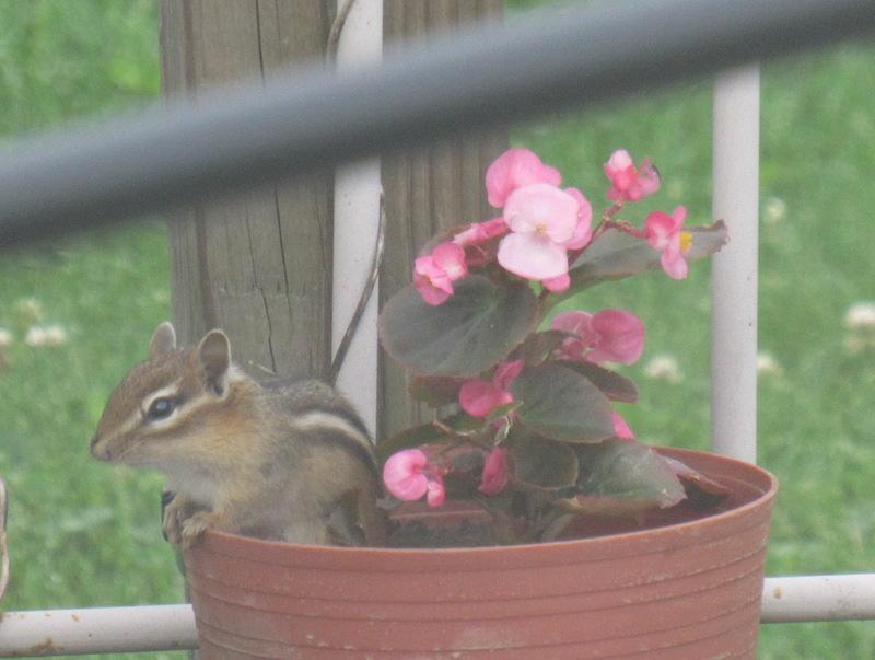 chipmunk-in-the-flowers2.JPG