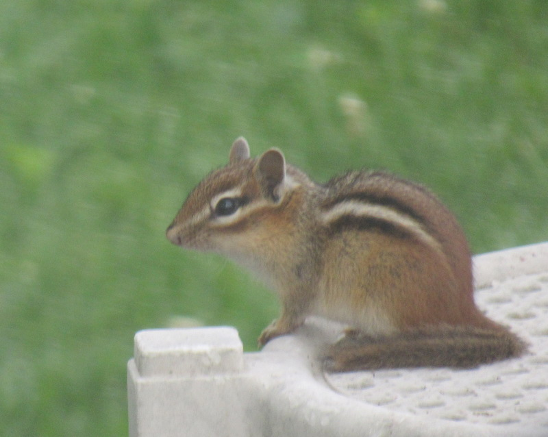 chipmunk-june2019-2.JPG
