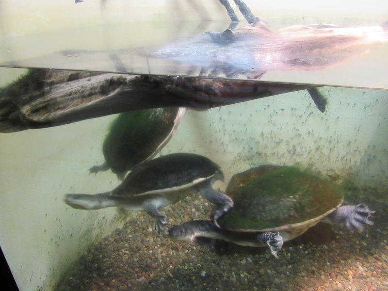 snake-neck-turtle.JPG