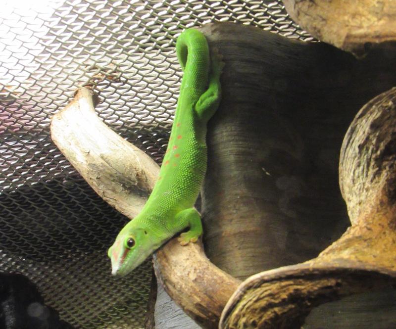 gecko-green.JPG