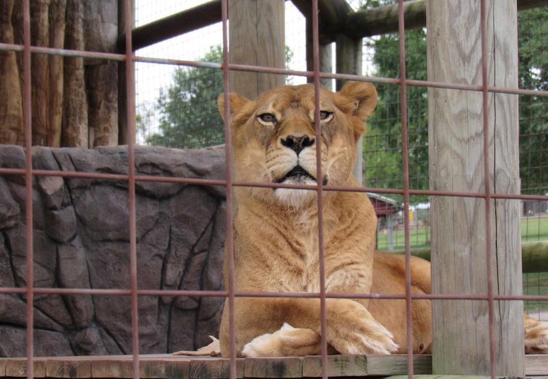 Lionness3.JPG