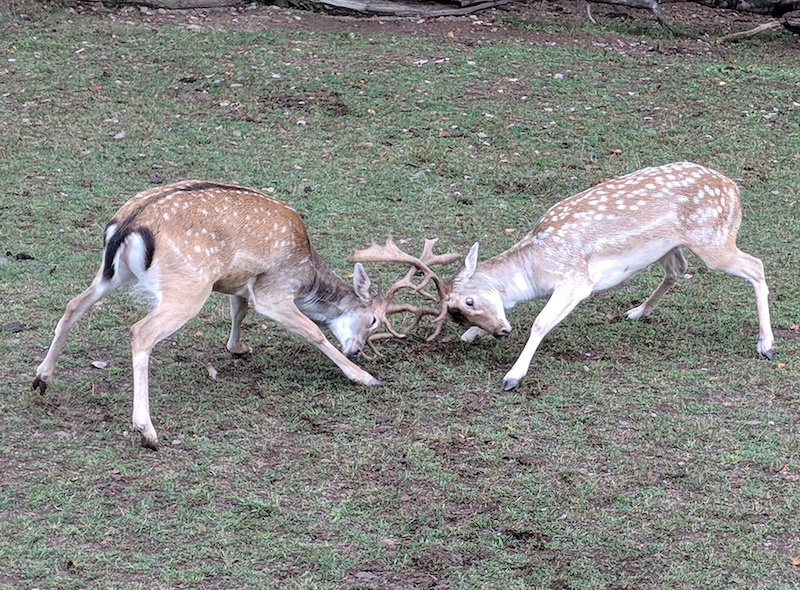 deer-fight.jpg