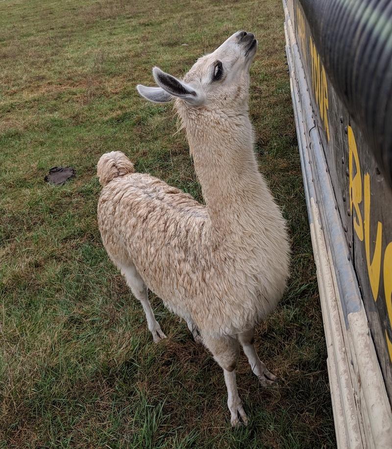white-llama.jpg
