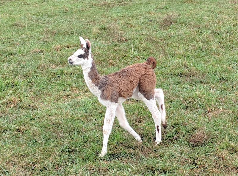 little-llama.jpg