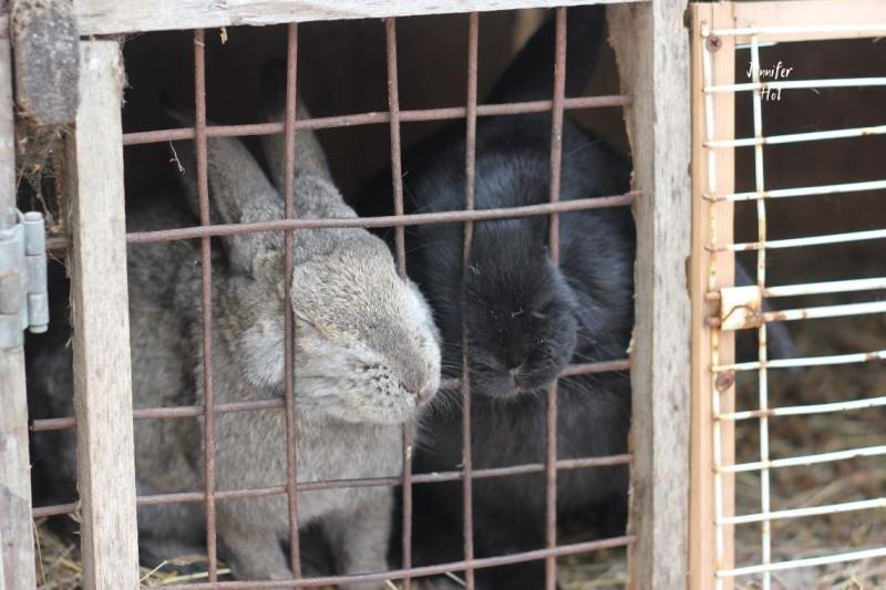 Общительные кролики