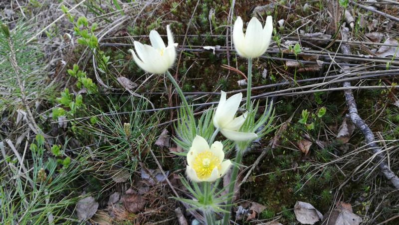 Мужчина-турист редко дарит цветы. Ему достаточно показать, где растёт красивый цветок, чтобы произвести впечатление. Но нехилые эмоции могут накрыть также, когда ты сама отыщешь это сокровище ранней весной.