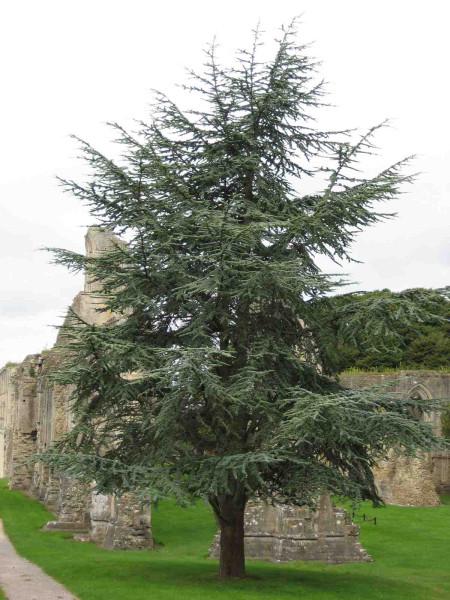 Dreaming Tree 27 Glastonbury Abbey2