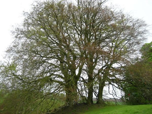 Dreaming Tree 30 Sacred Sisters
