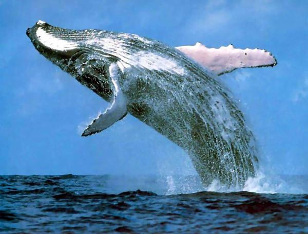 fond-ecran-saut-de-baleine-pour-se-gratter-le-dos.jpg