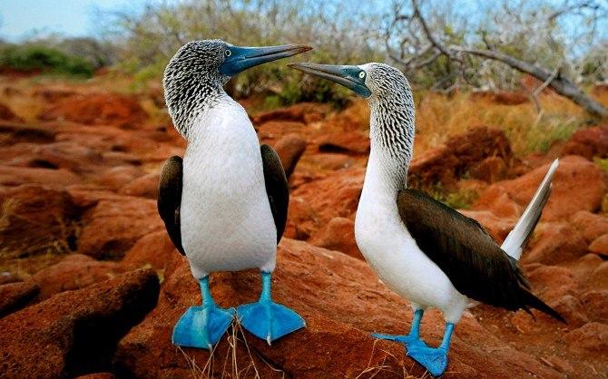 Птицы-олуша-Голубоногая-это интересно-познавательно-картинки_5325573773