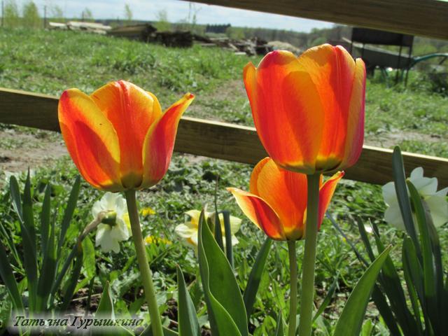 мои рыжие тюльпаны