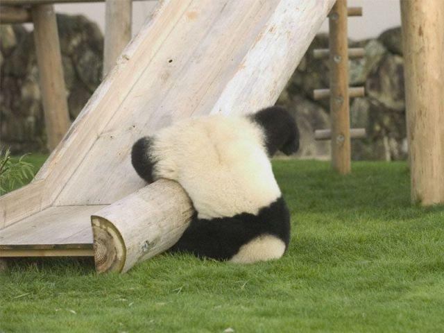 панда отдыхает