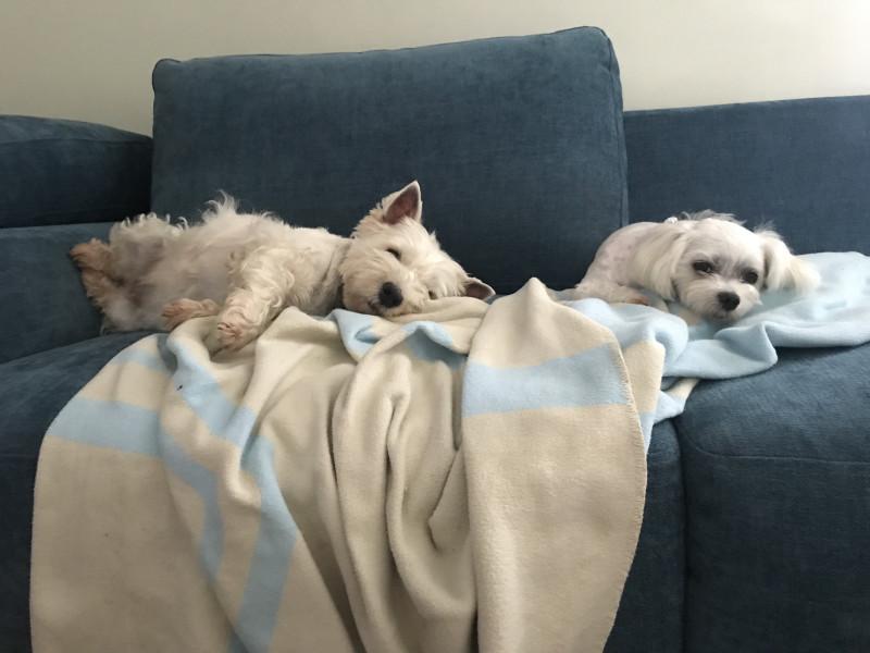 Собачки-компаньоны