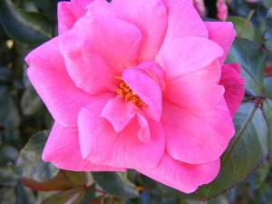 18-1-15 Pink Flower 1 - Resize