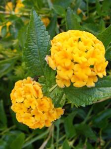 18-1-15 Yellow Flower 2 - Resize