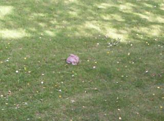 Resident white tailed jack rabbit