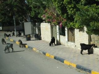 Козочки на улицах Хургады