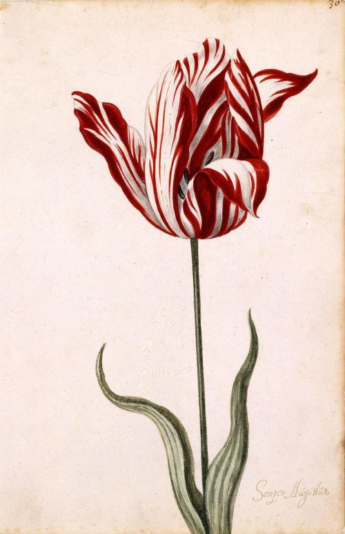 6-Неизвестный голландский художник - Тюльпан Semper Augustus - 1640-е - Музей Нортона Саймона.jpg