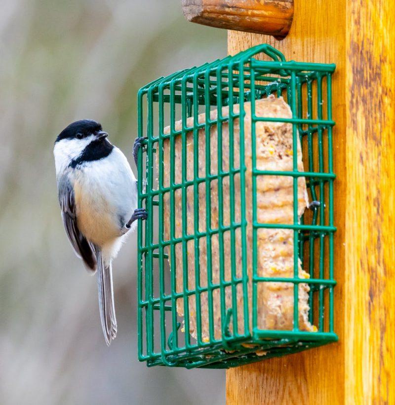 chickadee-birdfeeder-e1583265573700