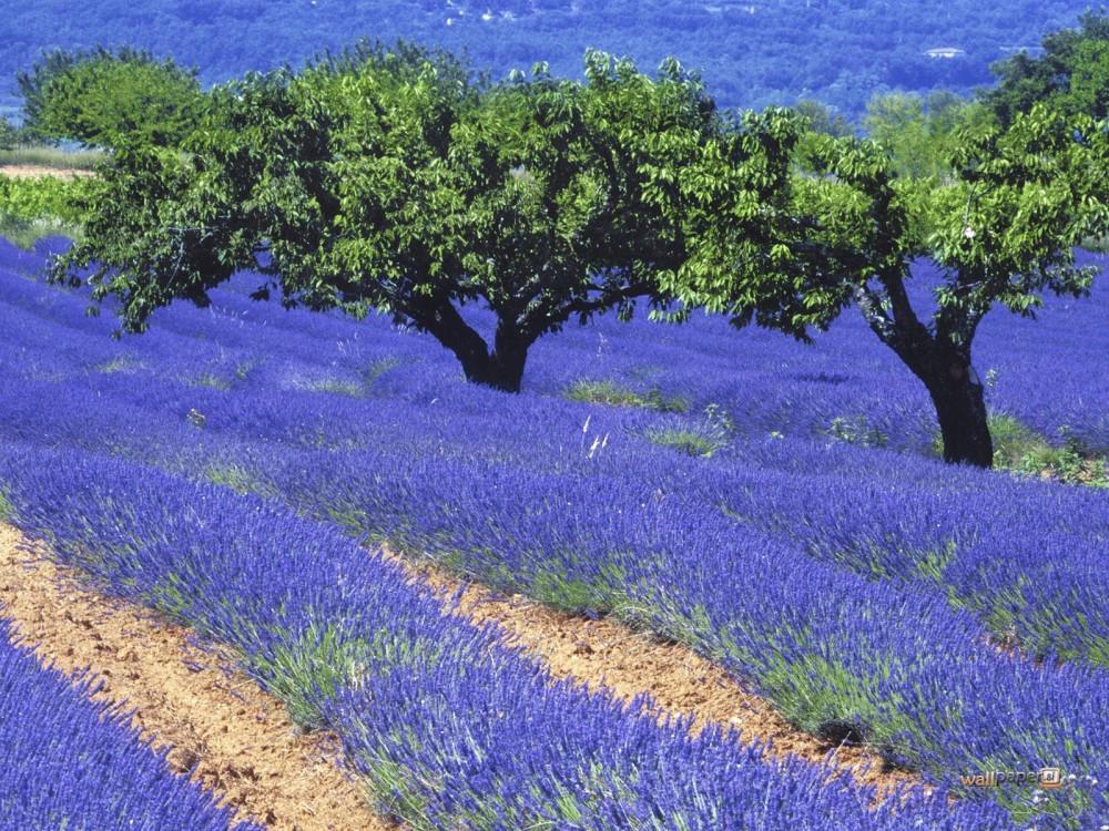 цветущие поля лаванды 5