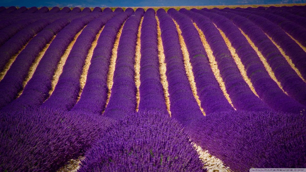 цветущие поля лаванды 6