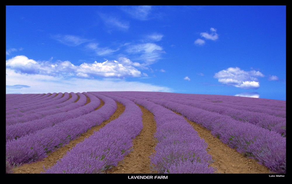 цветущие поля лаванды 7
