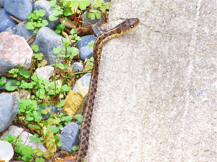 gartersnake [not a pinsesnake]
