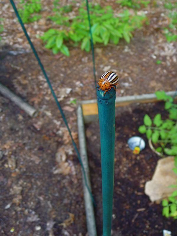 Burdock beetle Leptinotarsa juncta