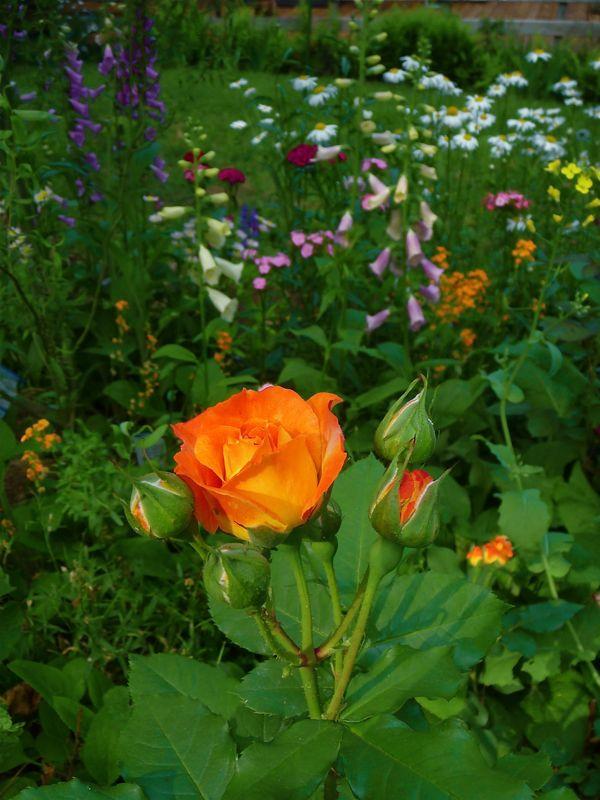 rose yellow and orange