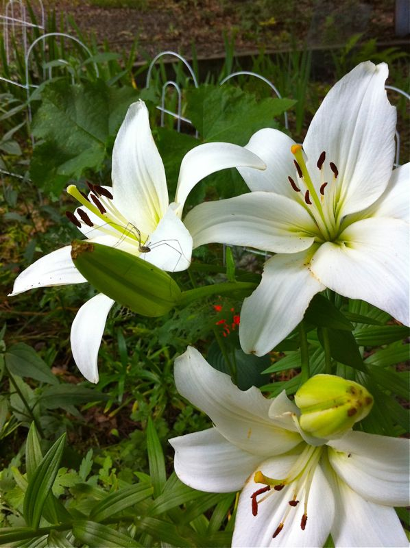 white lilies with daddy longlegs
