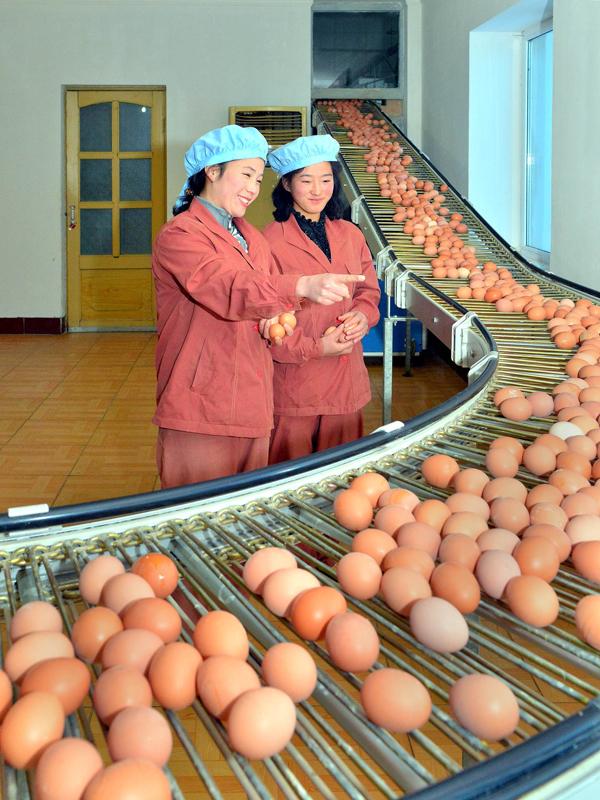 Еще более снабжать трудящихся курятиной и яйцами - такова задача куроводов КНДР