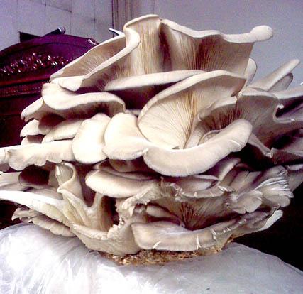 Вырастить у себя на квартире грибы породы Белая Дубинка вполне реально!