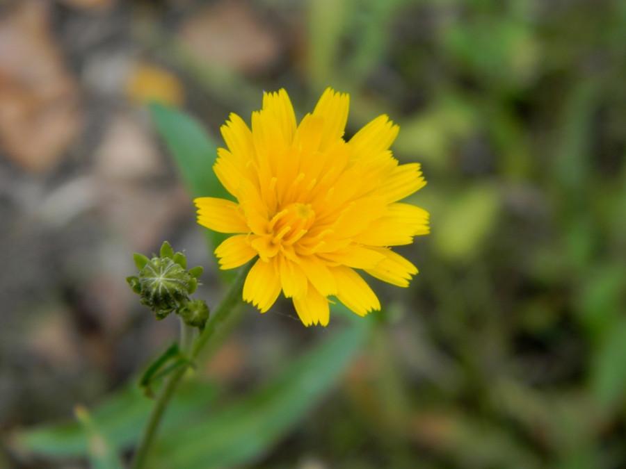 Земное солнышко- цветочек