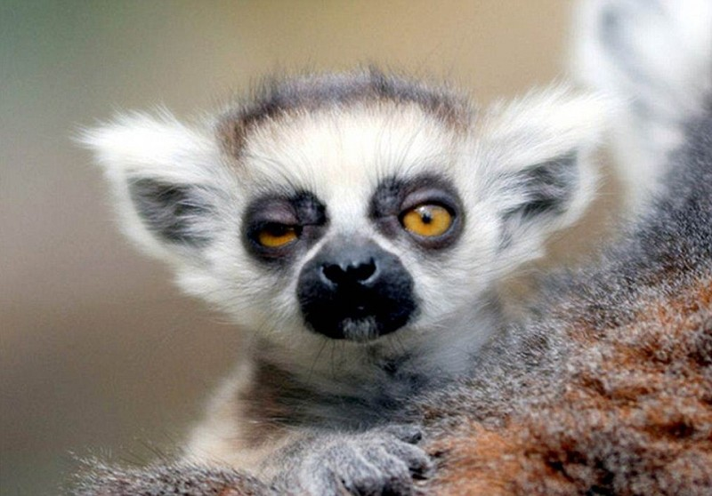 24593ED300000578-0-_Won_t_you_just_Lemur_alone_slurred_this_furry_creature_as_it_wa-a-34_1420058460544