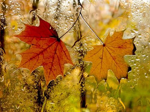 мокрые листья на стекле