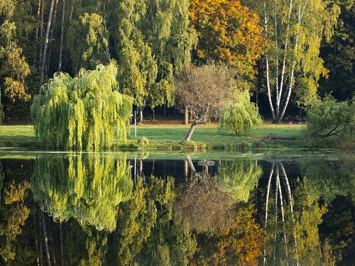 отражение ивы в воде