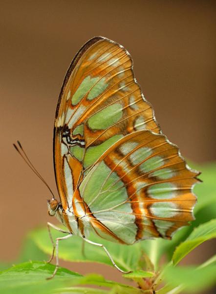 бабочка зелено-коричневая