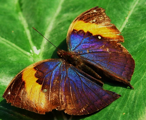 бабочка желто-синяя