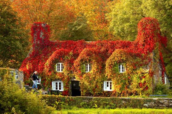 дома1 в плюще осенью